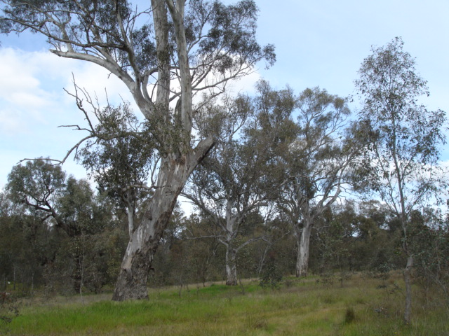 Box Gum Grassy Woodland at Bell's Travelling Stock Reserve, Table Top