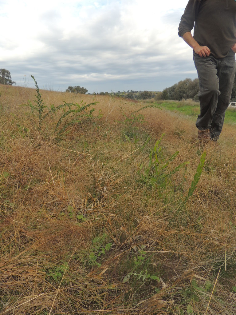 Direct seeding at 12 months, Table Top (Sam Niedra, May 2014)