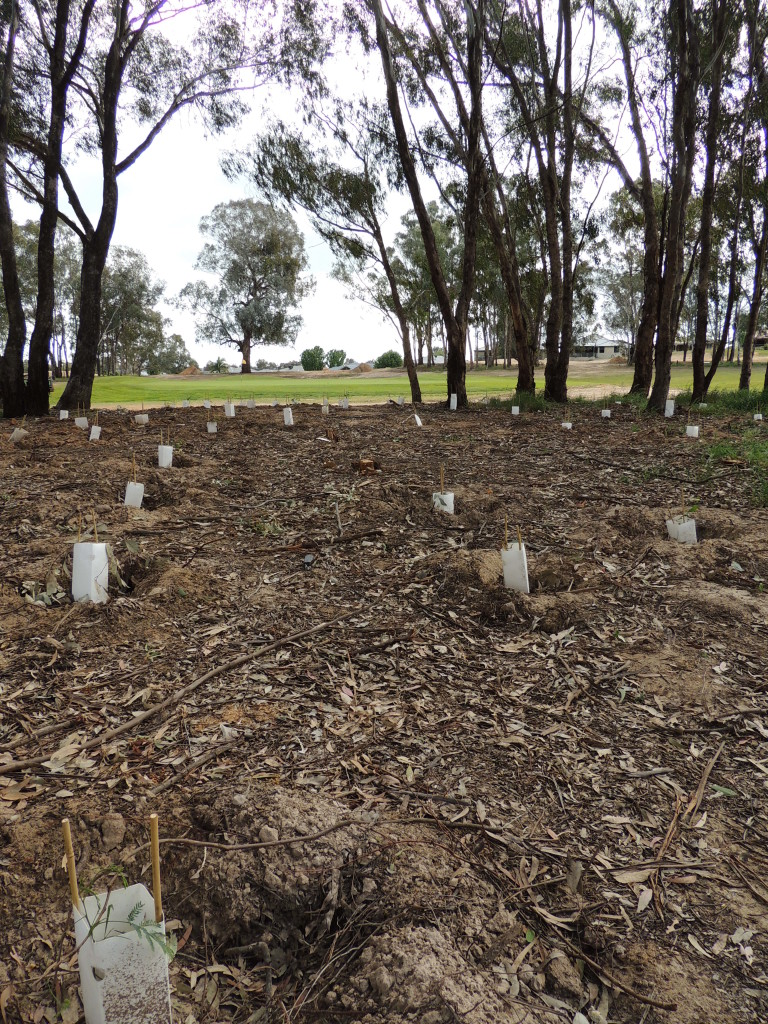 Revegetation with indigenous shrubs to enhance habitat as part of Thurgoona Country Club Resort's project funded by Albury Conservation Company (2013, Sam Niedra)