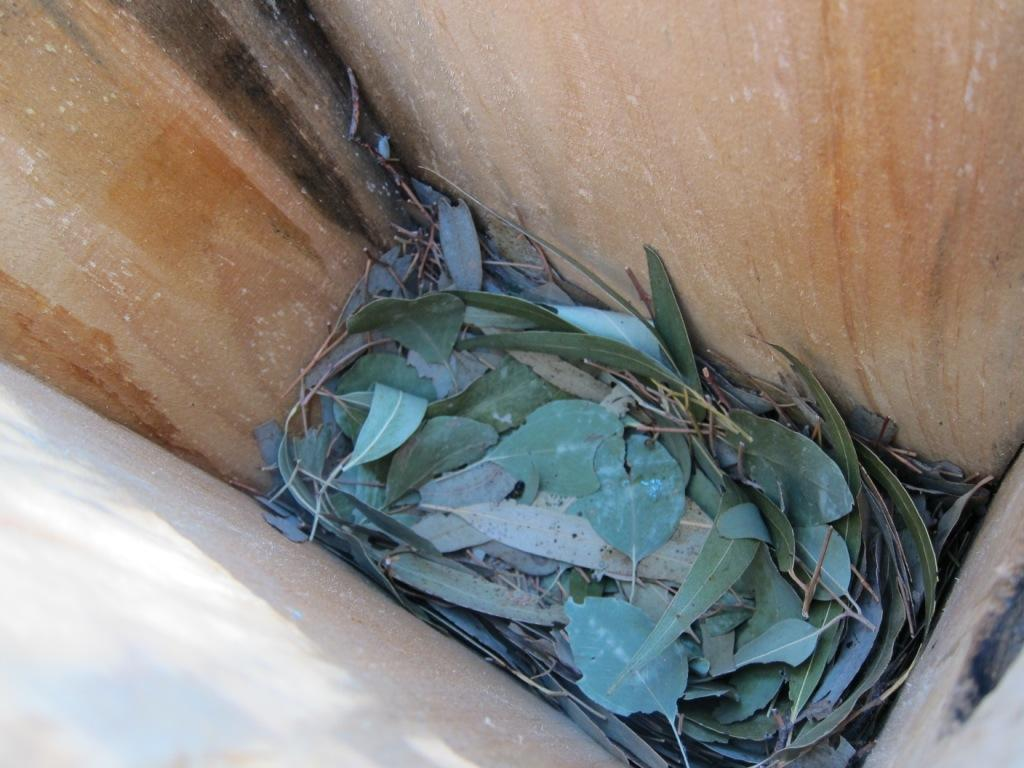Squirrel Glider nest of gum leaves in Thurgoona (Isabel Brom, 2011)