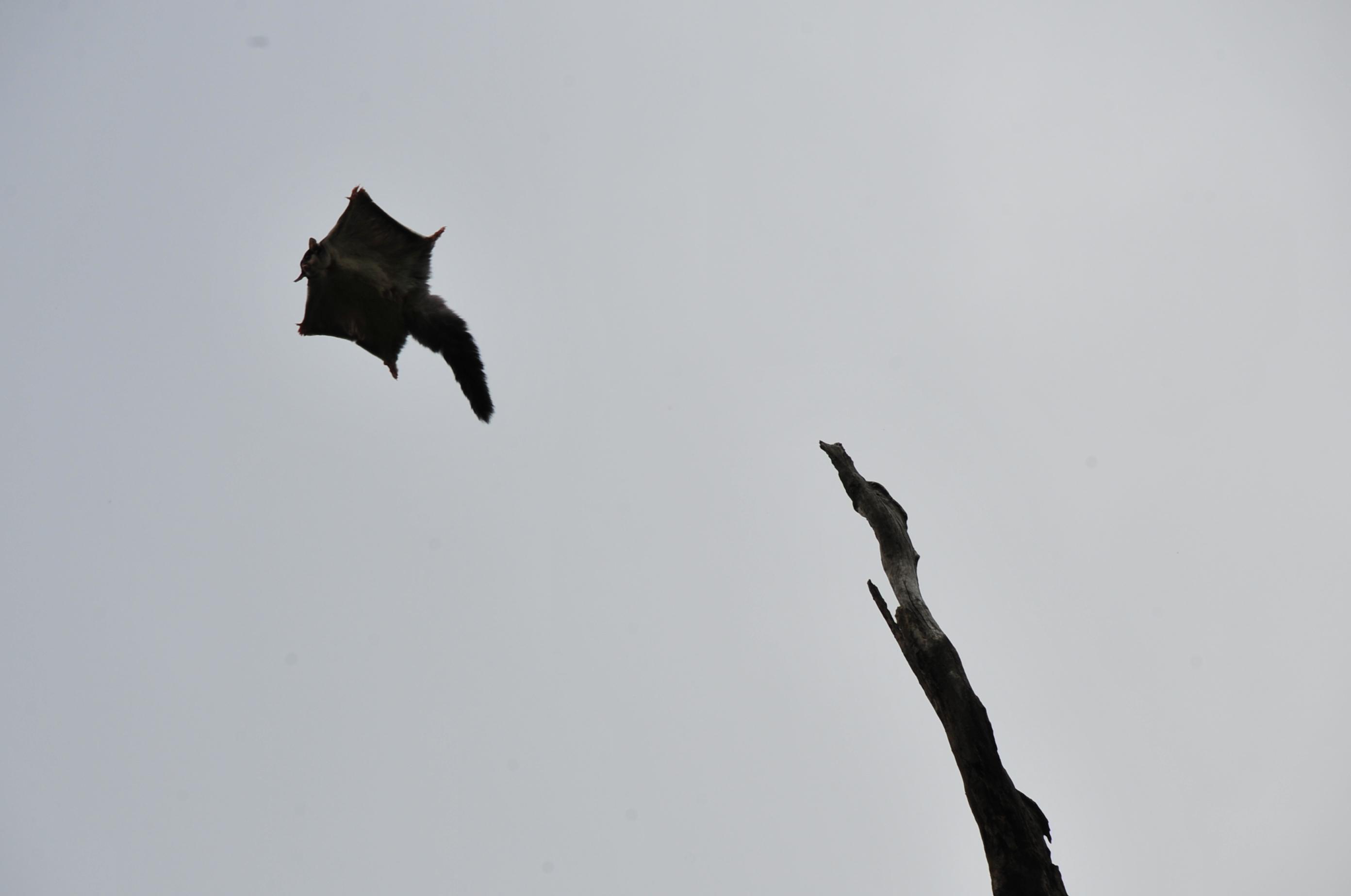 Squirrel Glider launching off a dead Eucalyptus tree (Alex Bonazzi, 2009)