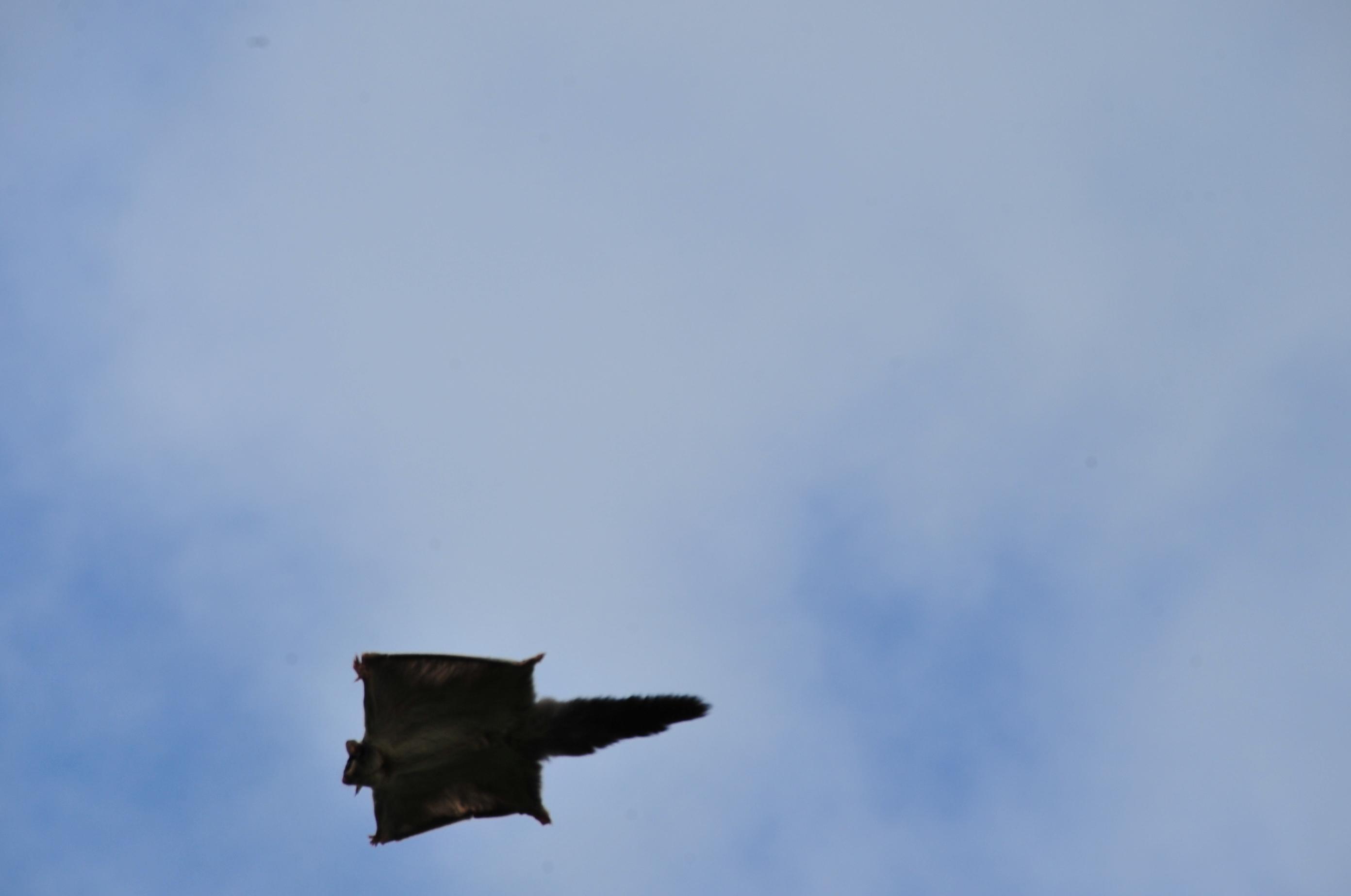 Squirrel Glider mid flight (Alex Bonazzi, 2009)