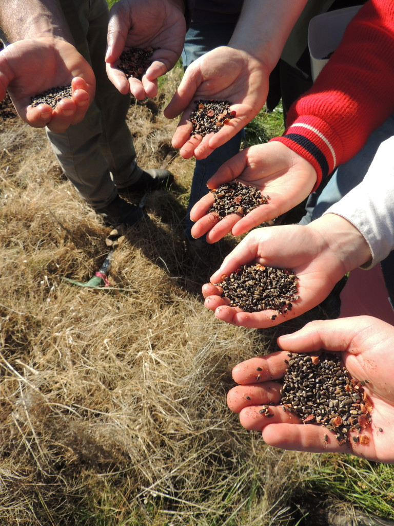 Indigenous seed ready to be hand-sown by National Environment Centre students, Table Top NSW (Sam Niedra, August 2014)