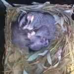 Squirrel Gliders in a nest box at Trinity College Thurgoona (Scott Melgaard, 2011)