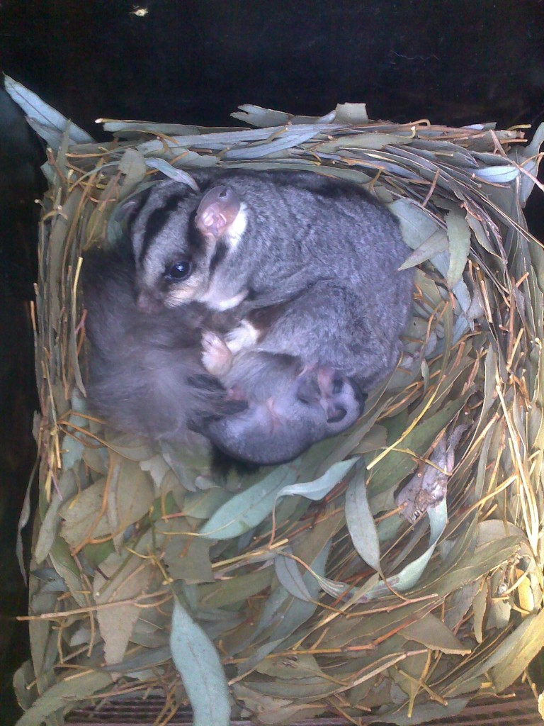 Squirrel Gliders in a nest box at Trinity College Thurgoona (Scott Melgaard, 2011)
