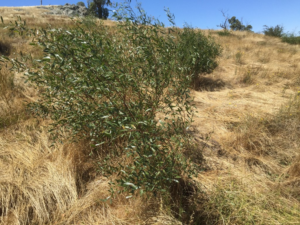Direct seeding of Varnish Wattle, Hedge Wattle, etc done by hand in August 2014