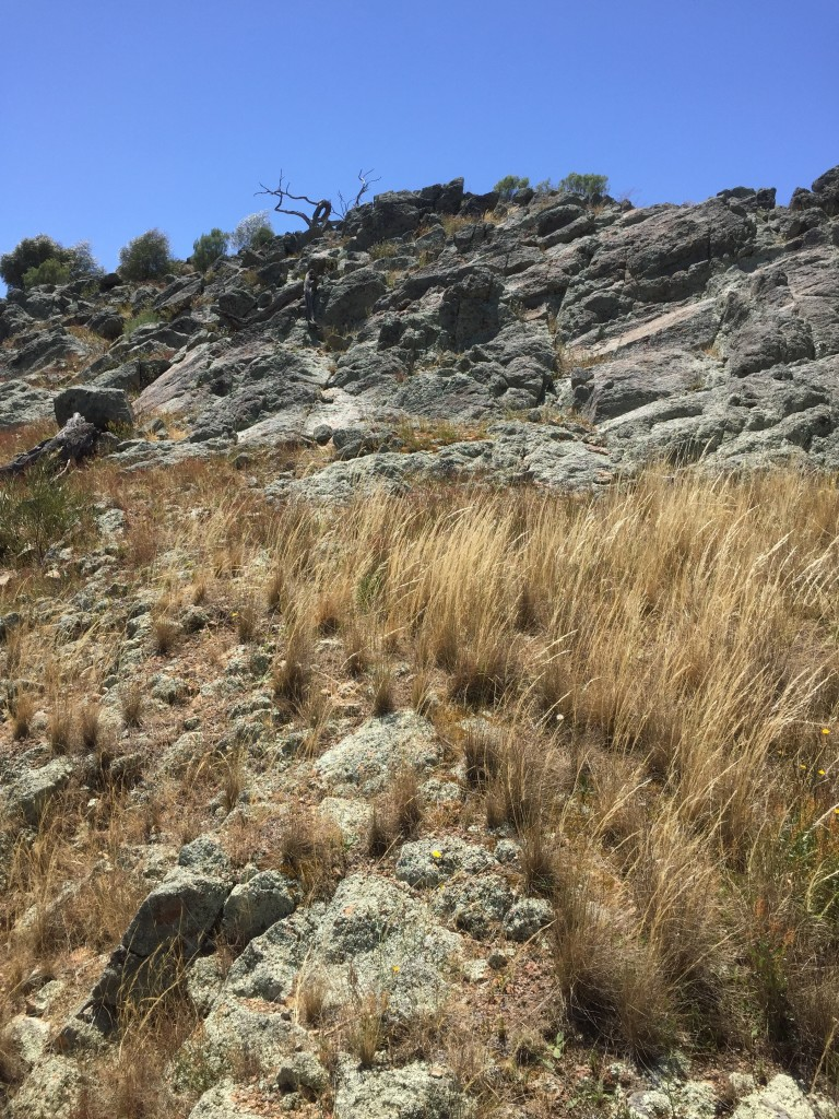 Natural regeneration and growth of remnant native vegetation on rocky outcrop, due to exclusion of sheep two years earlier.