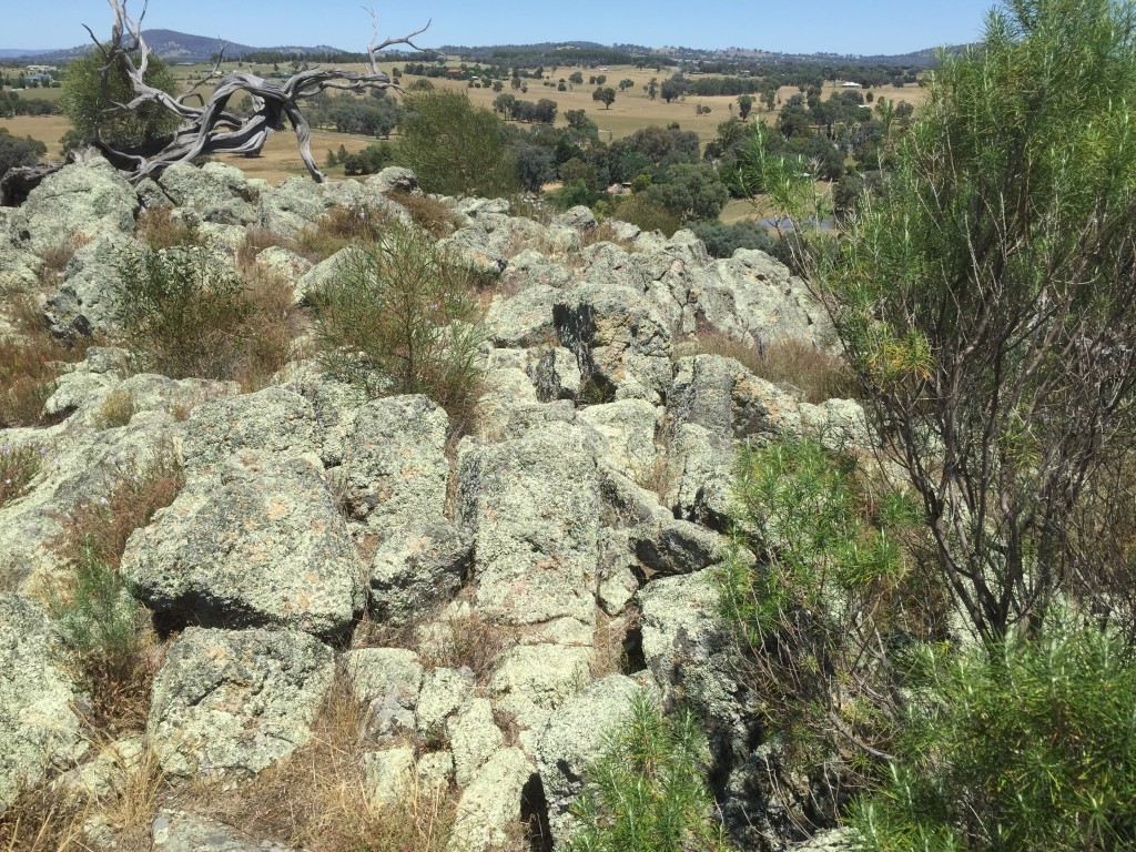 The top of Little Budginigi Hill is gradually recovering with Rock Isotome, Dianellas, Wattles slowly but surely emerging through cracks and crevices.