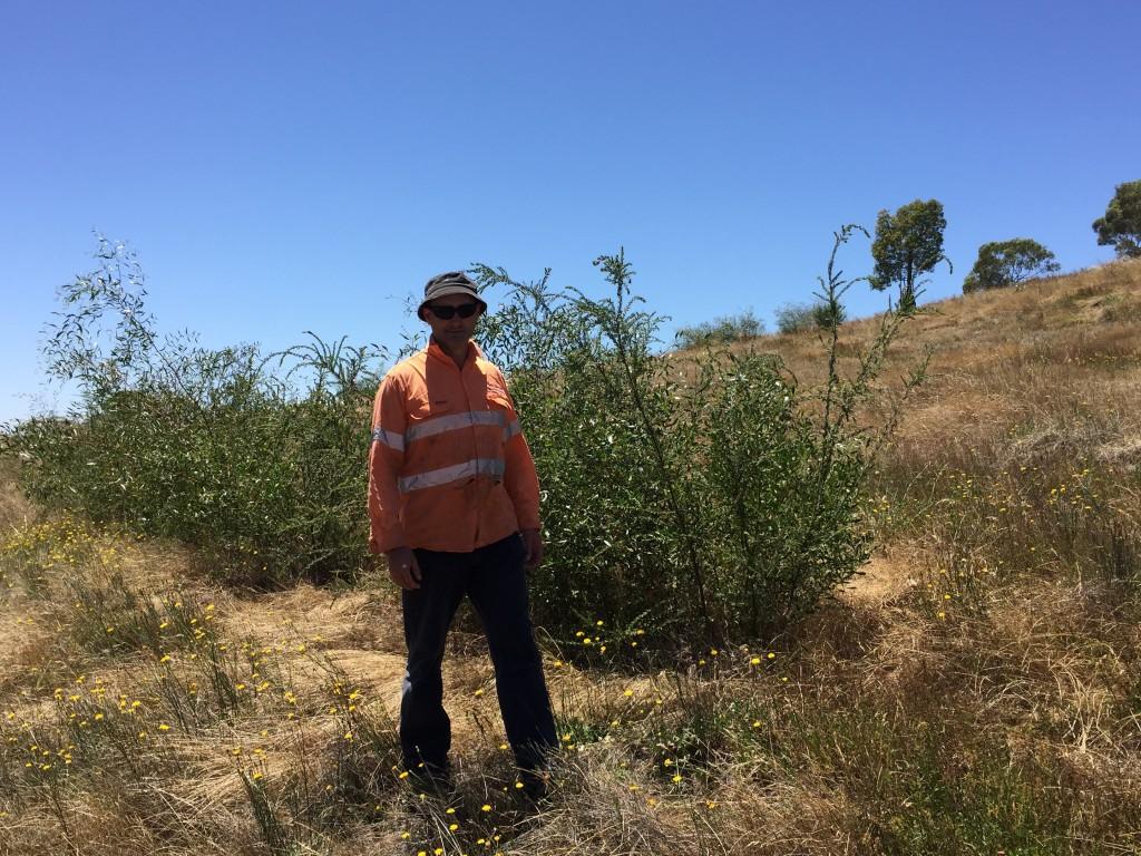 Joe standing next to machine direct seeding undertaken in June 2013 (2 years old).