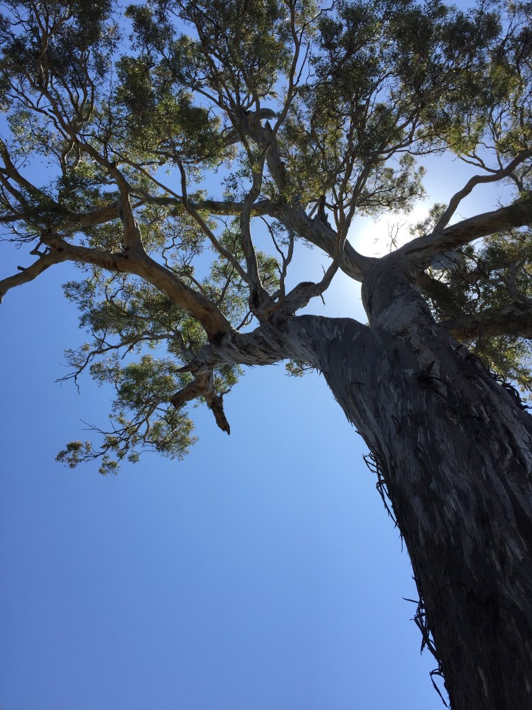 Canopy of a majestic hollow-bearing tree at Bell's TSR, Thurgoona NSW
