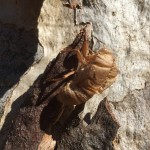 Cicada exoskeleton clinging to a hollow-bearing tree at Bell's TSR, Thurgoona NSW