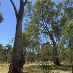 Wanted dead or alive! Hollow-bearing trees at Bell's TSR, Thurgoona NSW