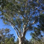 Magnificent hollow-bearing Blakelys Red Gum at Bell's TSR, Thurgoona NSW