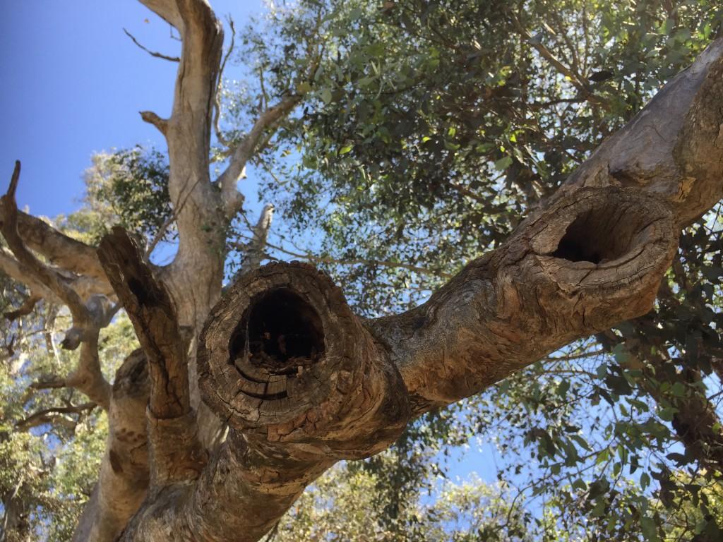 Hollow bearing tree at Bell's TSR Thurgoona, NSW