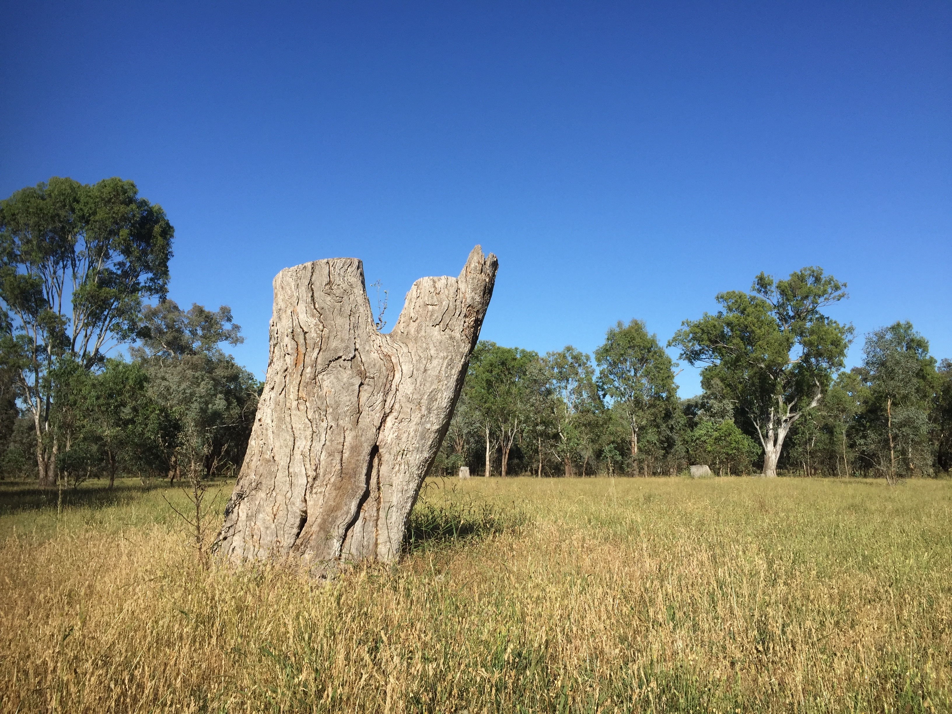 Removal of big trees affects hollow-dependent fauna, Thurgoona NSW