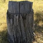 Ringbarked tree at Bell's TSR, Thurgoona NSW