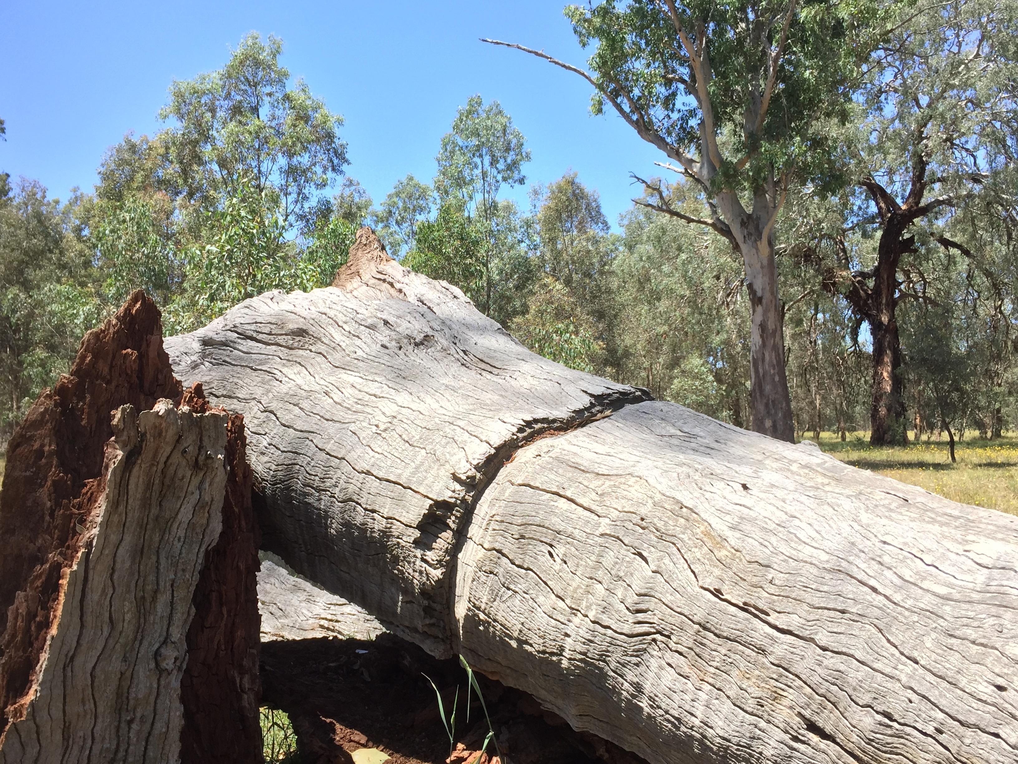 Ringbarked large tree at Bell's TSR, Thurgoona NSW