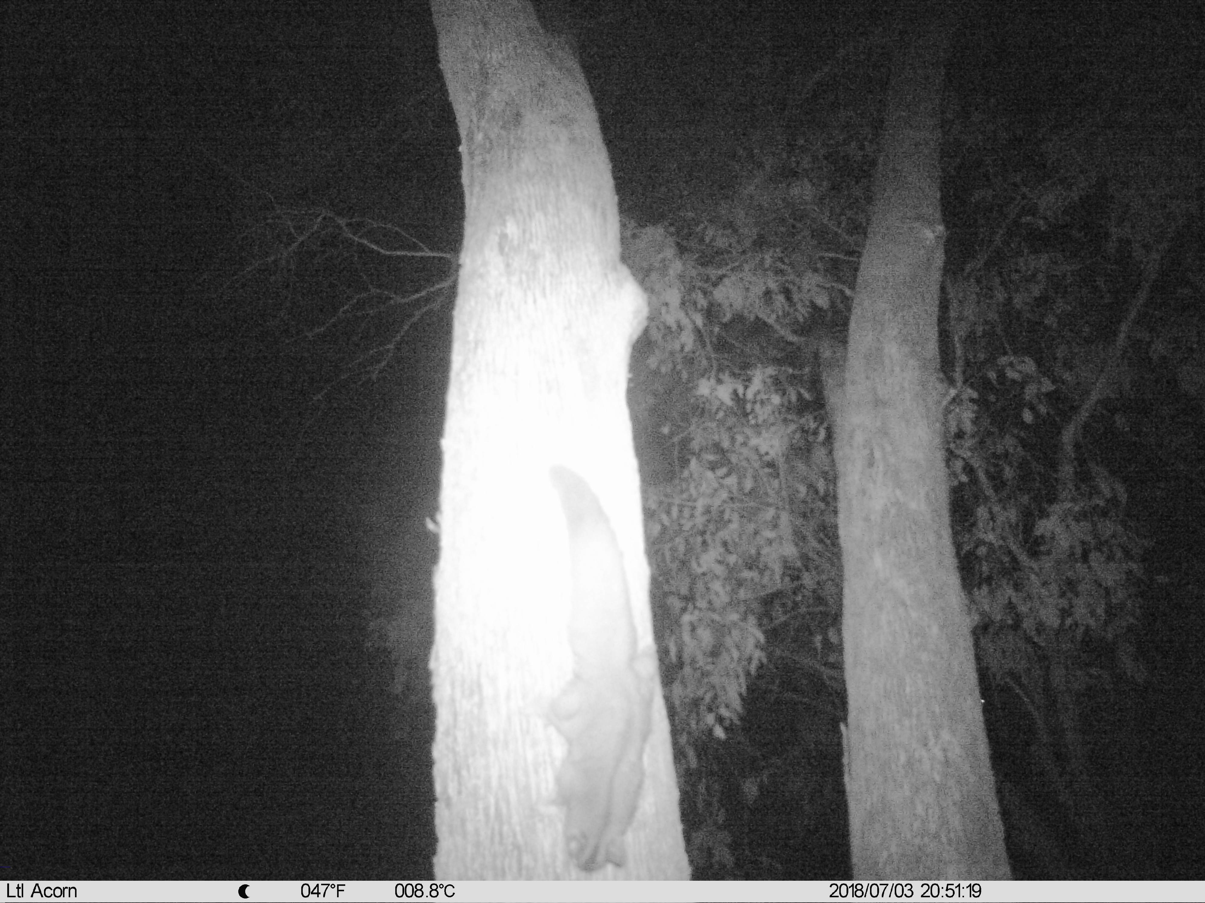 A Squirrel Glider caught on camera during round one of the Thurgoona-wide monitoring program targeting the species (July 2018)