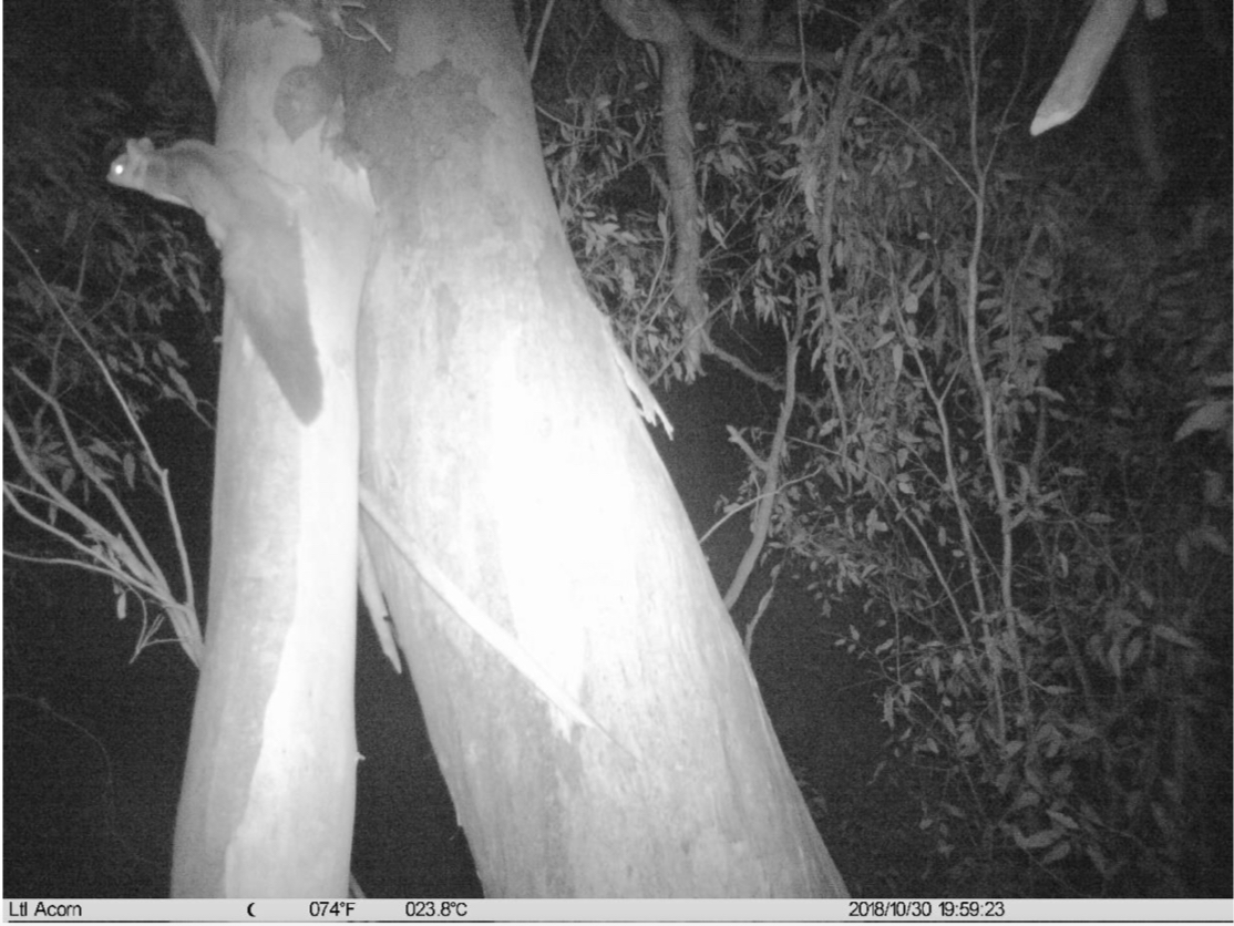 Squirrel Glider_Spring2018 monitoring